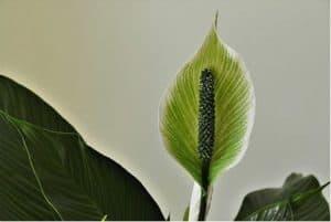 peace lilies 1 1