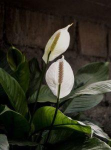 peace lilies 2 1