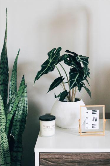 snake plant 2