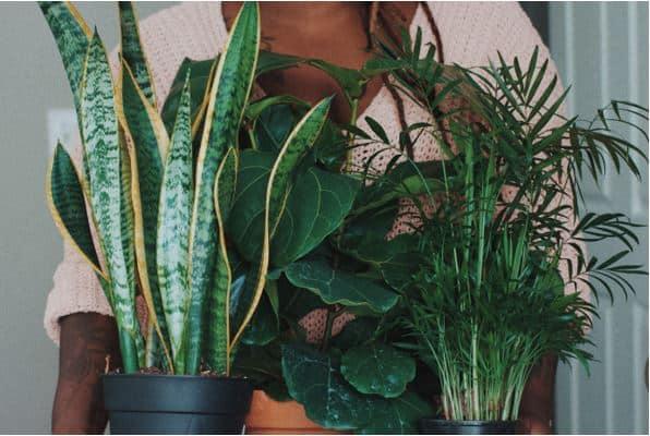 snake plant 3