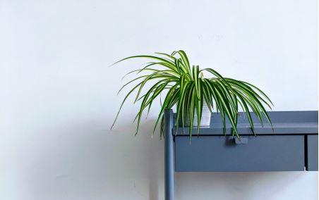 spider plant 3
